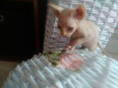 SPHYNX ♥ kitten