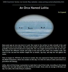 #orcas #killerwhales #whales ...free Lolita