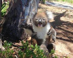 This Crying Koala Is The Cutest Thing You'll See Today. I want a koala Koala Meme, Funny Koala, Cute Funny Animals, Cute Baby Animals, Funny Cute, Animals And Pets, Wild Animals, Farm Animals, Hilarious