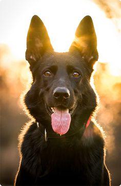 "German Shepherd, ""Pepper"" (Pepper ""Pfefferminza Peppilotta Yolante Donna Peppone)  Origin : shelter Leipzig (2010 Adopted)"