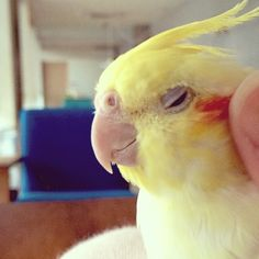 Funny Birds, Cute Birds, Feathered Dinosaurs, Cockatiel, Parrots, Beautiful Birds, Animal Crossing, Animals And Pets, Cute Babies