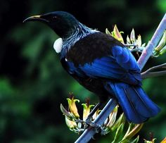 The endemic Tui (Prosthemadera novaeseelandiae) - New Zealand. Note its white fluff at throat. Tui have two voice boxes and are good mimics. They are much more common in the cities adn gardens now due to conservation efforts. Pretty Birds, Love Birds, Beautiful Birds, Tui Bird, Kiwiana, Bird Pictures, Birds Photos, Exotic Birds, Colorful Birds