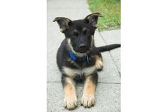 how to teach a german shepherd puppy to fetch