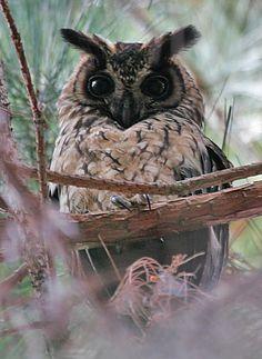 Madagascar Long-Eared Owl.