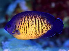 Great Beginner Fish for a Saltwater Aquarium: Coral Beauty Angelfish (Centropyge bispinosus)