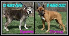 "On April 5, two senior boxers lost their home after they were surrendered to the Humane Society of the Ohio Valley in Marietta, Ohio. Today, almost two months later, the beautiful seniors are still waiting for their second chance. ""Cyanna"" is a 12-year-old female boxer and her friend,""Chrissy,"" is eight-years-old. For quite some time, the elderly dogs have been networked on Facebook. These beautiful girls are both described as well-behaved and affectionate."
