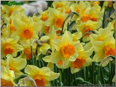 "Daffodil (Narcissus) ""Fortissimo"" details in the DaffSeek database"