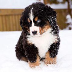 Somebody's feeling bashful. Adorable Bernese Mount Dog Puppy!  #Berner #BerneseMountainDog #BMD