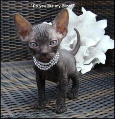 Sphynx kitten in pearls