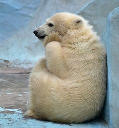 i love this polar bear's picture, but it makes me sad at the same time, because she appears to be in a zoo. :(
