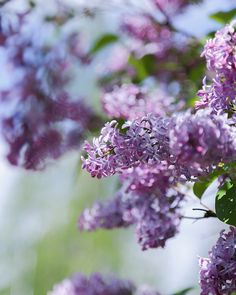 Lilac <3    @hetkiamaalla