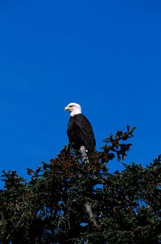 Bald Eagle, Prince William Sound, near Valdez, Alaska.  The Prince William Sound is beautiful beyond any words imaginable.........it's a miracle place to visit.  Take the ferry from Valdez to Whittier.......the most beautiful place on earth.