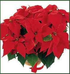 Holiday Ecards, Christmas Ecards, Poinsettia Plant, Virtual Flowers, Flowers Online, Real Flowers, Rose, Plants, Pink