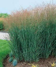 Panicum virgatum 'Heavy Metal' (Switch Grass) Zone 3-8;  36-60'' tall x 12-24'' wide; Partial - full sun; regular weekly watering. Perhaps the most upright variety of Panicum, the strong stems of 'Heavy Metal' never flop or lean, even in heavy rains. Its