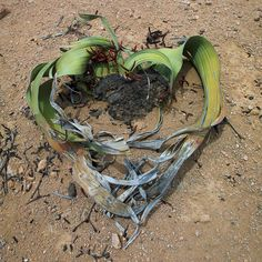 Welwitschia mirabilis  This strange plant is considered a living fossil. It was named after the Austrian botanist Friedrich Welwitsch who discovered it in 1859. You can only find it in the Namib desert within Namibia Reserva Parcial de Namibe