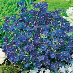 Suttons Seeds 101431 Anagallis Blue Pimpernel Seed