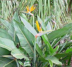 Flor de pájaro, Strelitzia, cultivo y cura