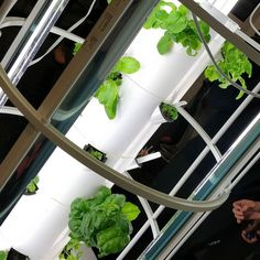 #hydroponic #hydroponics #SproutbyDesign #indoorgarden #indoorplants #indoorfarming #urbanfarming #urbangarden #urbangardenersrepublic #growyourown #urbangardening #urbanfarm #towergarden #towergardens #juiceplus