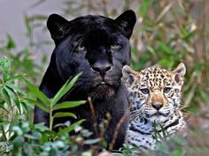 Black Leopard and Cub