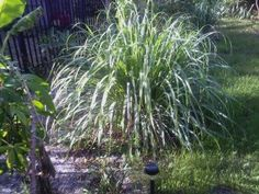 https://www.etsy.com/listing/120333768/lemongrass-plant-1-quality-stalk-with?ref=shop_home_feat