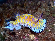 Goniobranchus roboi, common name the tooth-edged chromodoris, is a species of colorful sea slug, a dorid nudibranch, a marine gastropod mollusk in the family Chromodorididae.