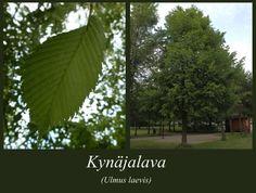 kynäjalava - Ulmus laevis