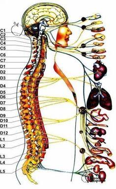 Первый шейный позвонок (с 1, атлант: головные боли, мигрень, ослабление памяти, хроническая усталость, головокружение, артериальная гипертензия, недостаточность мозгового кровообращения. Второй шейный...