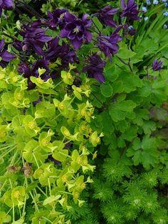 Purple Aquilegia vulgaris & Lime green Euphorbia amygdaloides - a zingy spring combination.