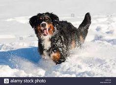 Bildergebnis für Bernese Mountain Dog - Nostalgic Pictures