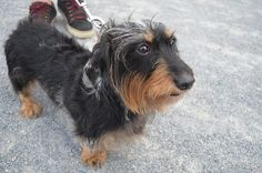 Rascal/Brooklyn, NY/Wire Haired Dachshund // waggo.com