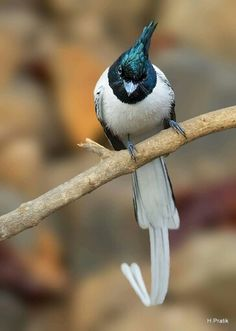 Asian Paradise Flycatcher Love Birds, Beautiful Birds, Snowy Owl, Science And Nature, Bird Watching, Mother Earth, Beautiful Creatures, Flycatchers, Magpie