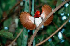 Cicinnurus regius / Ave-del-paraíso Real / King Bird-of-paradise / Paradisier royal / Königsparadiesvogel