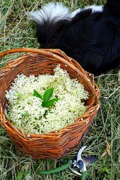 Cicoria selvatica da campo cerca con google herbs - Parcheggiano davanti casa cosa si puo fare ...