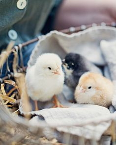 We had these baby chickens hatch in my village a while back. Baby Chickens, Raising Chickens, Chickens Backyard, Farm Animals, Cute Animals, Gallus Gallus Domesticus, Future Farms, Charles Darwin, Country Life