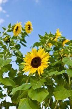 Sunflower Garden Ideas my dads sunflower garden The Best Time To Plant Sunflower Seeds