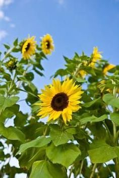 Sunflower Garden Ideas find this pin and more on gardening ideas maximilian sunflower The Best Time To Plant Sunflower Seeds