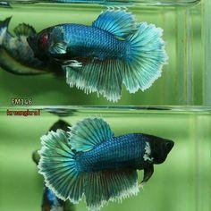 fwbettashm1469440001 - green butterfly fm146