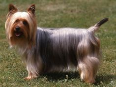 List and Character of all terrier dog breeds Silky Terrier, Terrier Dog Breeds, Terriers, Dog Cat, Pets, Pictures, Wild Animals, Comme, Portugal