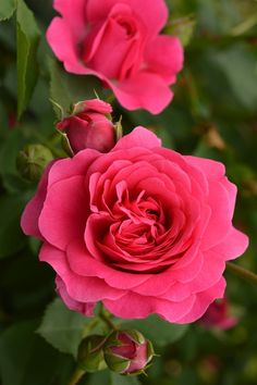 'Sir John Betjeman' | David Austin English Rose. Austin, 2008 | Flickr - ©  naruo 0720