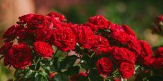 Φροντίδα Τριανταφυλλιάς Home And Garden, Rose, Nature, Plants, Pattern, Diy, Decor, Gardening, Pink