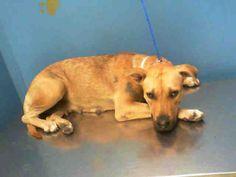 02/12/14 Petfinder  Adoptable | Dog | Pit Bull Terrier | Houston, TX | VEECHES