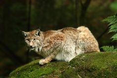 "500px / Photo ""Bavarian Forest Lynx"" by Peter Krejzl"