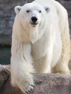 The polar bear is classified as a vulnerable species, with eight of the nineteen polar bear subpopulations in decline. Love Bear, Big Bear, Majestic Animals, Animals Beautiful, Beautiful Creatures, Animals And Pets, Cute Animals, Wild Animals, Polar Bears International