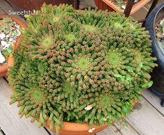 Euphorbia caput-medusae 1