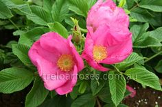 Rugosa Scabrosa - Large single blooms of magenta with golden stamens, followed by large bright red hips. Magnificent foliage on a spreading bush approx. 1.5m ...