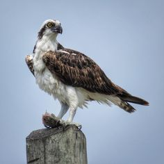 ⚪️⚪️⚪️⚪️⚫️⚪️⚪️⚪️⚪️ It can all change in a flash. One minute you're swimming along, the next thing you know you're being devoured. As an apex predator, the Osprey has the edge and the fish is just a meal.