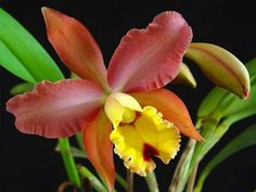 Orquideas Cymbidium, Cattleya Orchid, Lovely Smile, Orchidaceae, Flower Images, Tropical Flowers, Orchids, Orchid Flowers, House Plants