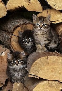 Arent these three little kitties adorable? - Kittens - Ideas of Kittens - Arent these three little kitties adorable? The post Arent these three little kitties adorable? appeared first on Cat Gig. Cool Cats, I Love Cats, Crazy Cats, Pretty Cats, Beautiful Cats, Animals Beautiful, Cute Kittens, Fluffy Kittens, Tabby Kittens