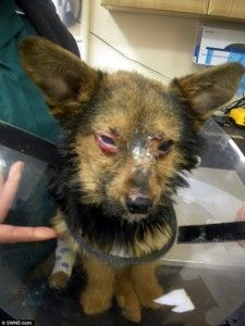 Dog Survives After Being Tortured, Set On Fire, Fed Drugs