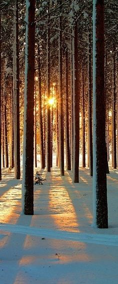 Pine Trees in the snow on Sunset in Sweden